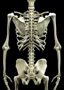 骨盤、脊柱の骨格画像